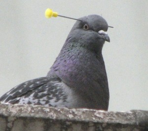 pigeon-picture