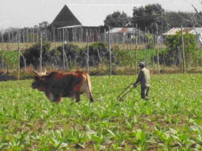 Tobacco Plantation, San Luis, Pinar del Río