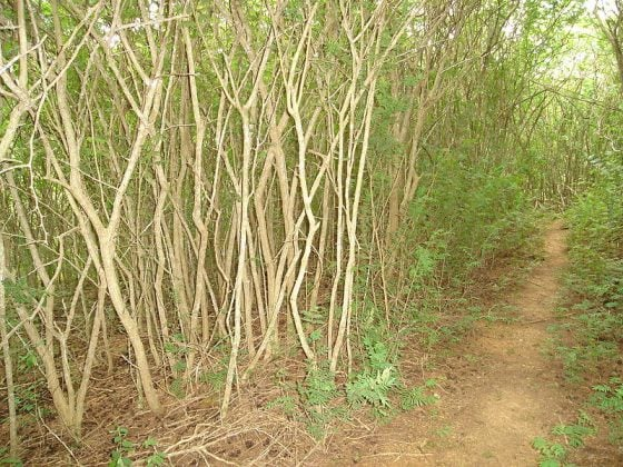 Marabu: Biomass or Bioterror?