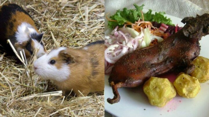 guinea-pig-meat-cuba-720x405.jpg